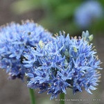 Allium azureum - PACK of 16 bulbs