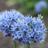 Allium azureum BULK - 100 or 250 Bulbs
