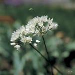 Allium 'Neopolitanum BULK - 100 or 250 Bulbs