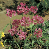 Allium 'Oreophilum' - PACK of 39 bulbs
