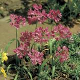 Allium 'Oreophilum' BULK - 100 or 250 Bulbs