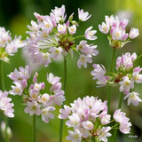 Allium roseum (Rosy Garlic) BULK - 100 or 250 Bulbs