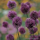 Allium sphaerocephalon (Drumsticks) BULK - 100 or 250 Bulbs