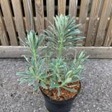Euphorbia 'Glacier Blue' - 3ltr pot