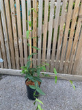 Lonicera 'Henryi' (Dutch Honeysuckle) - 4ltr pot