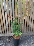 Rosa odorata 'Mutablis' - 4ltr pot