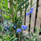 Sollya Heterophylla - 4ltr pot