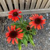 Echinacea purpurea 'Tiki Torch' - 3ltr pot