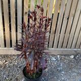 Lobelia cardinalis 'Queen Victoria' - 3ltr pot