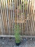 Miscanthus 'Flamingo' (Grass) - 3ltr pot