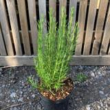 Rosemary 'Rosea' (Rosmarinus) - 3ltr pot