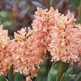 Hyacinth 'Gipsy Queen' BULK - 100 bulbs