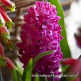 Hyacinth 'Jan Bos' BULK - 100 bulbs