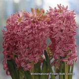 Prepared Hyacinth 'Pink Pearl' - PACK of 5 bulbs