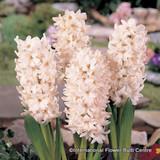 Hyacinth 'China Pink' BULK - 100 bulbs