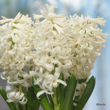 Hyacinth 'Carnegie BULK - 100 bulbs