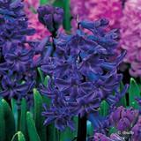 Hyacinth 'Blue Magic BULK - 100 Bulbs