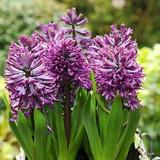 Hyacinth 'Purple Sensation' BULK - 100 bulbs