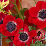 Anemone 'de caen Hollandia' - PACK of 19 bulbs