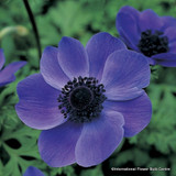 Anemone 'De Caen Mr Fokker' - PACK of 19 bulbs