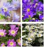 Anemone 'Blanda mixed' BULK - 100 or 250 bulbs