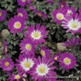 Anemone blanda 'Pink Star' - PACK of 7 bulbs