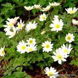 Anemone blanda 'White Splendour' BULK - 100 or 250 bulbs
