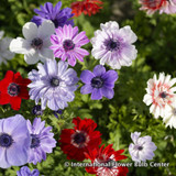 Anemone 'De Caen mixed' - PACK of 16 bulbs