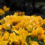 Crocus (large flowering) 'Yellow' BULK - 100 or 250 bulbs