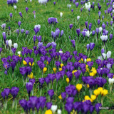 Crocus (large flowering) 'Mixed' BULK - 100 or 250 bulbs