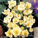 Crocus (species) 'Cream Beauty' BULK - 100 or 250 bulbs