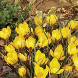 Crocus (species) 'Dorothy' BULK 100 or 250 bulbs