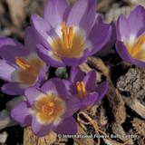 Crocus (species) 'Sieberi Tricolour' BULK - 100 or 250 bulbs