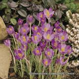 Crocus (species) tommasinianus 'Barrs' Purple' BULK 100 or 250 bulbs