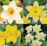 Mixed Daffodil & Narcissi - BULK 25kg