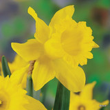 Yellow Trumpet Daffodil 'King Alfred' BULK 25kg