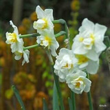 Double Daffodil 'Cheerfulness' - BULK 25kg