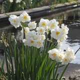 Double Daffodil 'Sir Winston Churchill' - BULK 25kg
