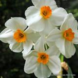 Tazetta Narcissi 'Geranium' BULK 25kg