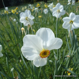 Poeticus Narcissi 'Pheasant Eye' BULK - 100 or 250 bulbs