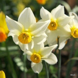 Species Narcissi 'Canaliculatus' - PACK of 13 bulbs
