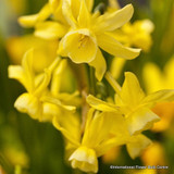 'Hawera' Species Narcissi BULK - 100 or 250 Bulbs