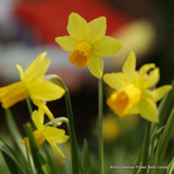 'Jetfire' Species Narcissi BULK - 100 or 250 Bulbs
