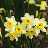 'Minnow' Species Narcissi BULK 100 or 250 Bulbs