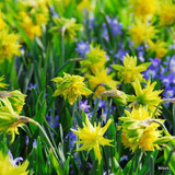 'Rip Van Winkle' Species Narcissi BULK - 100 or 250 Bulbs