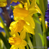Species Narcissi 'Tete a Tete' - BULK 100 or 250 bulbs