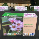 Bergenia 'Bressingham White' 1ltr pot