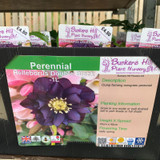 Helleborus 'Double Black' 1ltr pot