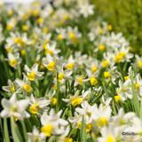 Species Narcissi 'Topolino' BULK - 100 or 250 bulbs