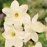 Species Narcissi 'Tresamble' - BULK 100 or 250 bulbs